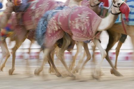 running camel: Dubai UAE Blurred motion of camels running during training at Nad Al Sheba Camel Racetrack LANG_EVOIMAGES