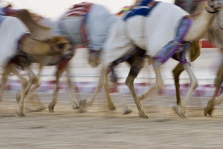 nad': Dubai UAE Blurred motion of camels running during training at Nad Al Sheba Camel Racetrack LANG_EVOIMAGES