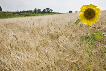 out of context: Sunflower in wheatfield