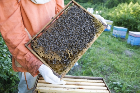 Beekeeper Holding Honeycomb with Honey Bees Stock Photo - 20716498