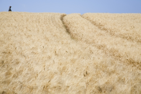 wheatfield: Wheat field with person in distance LANG_EVOIMAGES