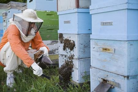 apocrita: Beekeeper Tending Beehives LANG_EVOIMAGES