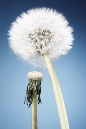 wilted: Fresh and wilted dandelion