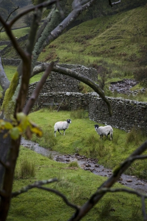 dales: Sheep on pasture in Yorkshire Dales Yorkshire England LANG_EVOIMAGES