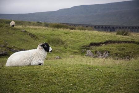 yorkshire dales: Ovejas en el pasto Yorkshire Dales Yorkshire Inglaterra LANG_EVOIMAGES