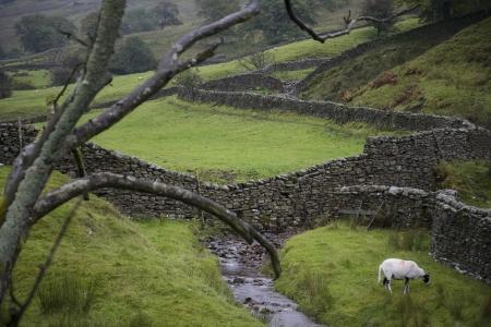 yorkshire dales: Ovejas en pasto en Yorkshire Dales Yorkshire Inglaterra