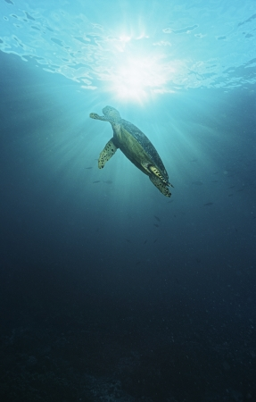 Raja Ampat Indonesia Pacific Ocean hawksbill turtle (Eretmochelys imbricata) swimming in sunbeams shining through water surface low angle view Stock Photo - 20718187