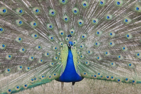 indian peafowl: Indian Peafowl Pavo cristatus (Asiatic)with tail feathers displayed in courtship ritual