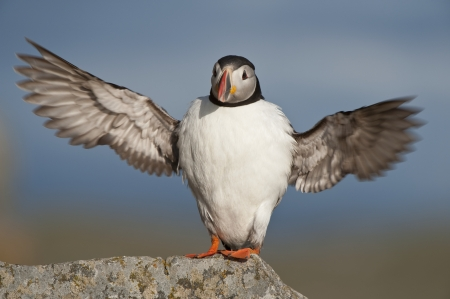 wingspan: Atlantic Puffin stretched wingspan Runde island Norway