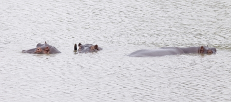 wallowing: Rhinos submerged in water