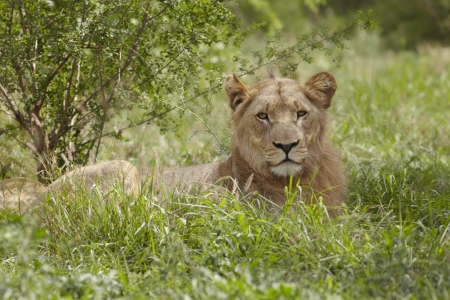 undergrowth: Lioness lying in African undergrowth LANG_EVOIMAGES