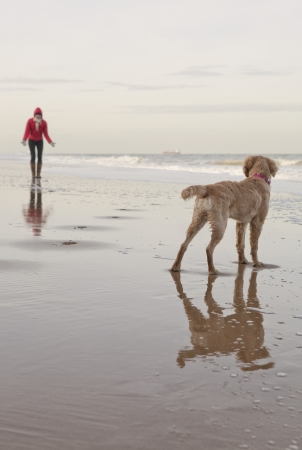 disobedience: Mixed breed Golden Retriever-Poodle cross with owner on beach in Herne Bay Kent