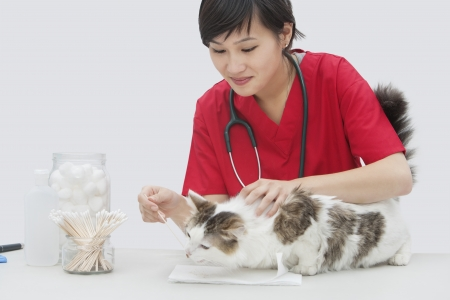 cotton swab: Asian female veterinarian cleaning cats ear with cotton swab against gray background