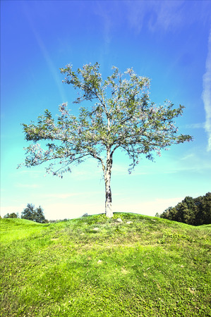 field maple: Lone tree in field LANG_EVOIMAGES