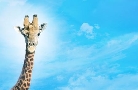 Giraffe with head in clouds,