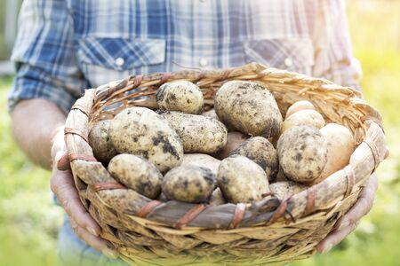 Midsection of farmer carrying raw potatoes in basket at farm