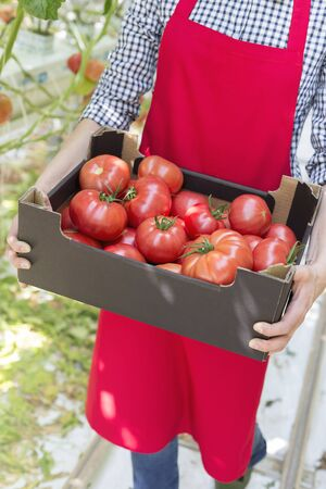 Midsection o farmer carrying tomatoes in crate at greenhouse 写真素材