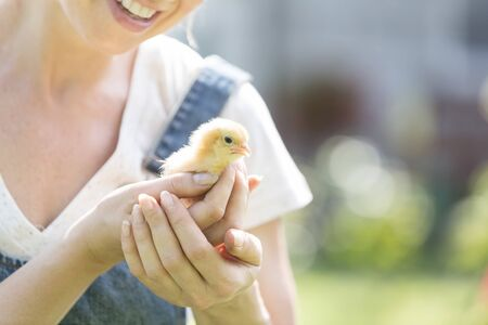 Midsection of mid adult woman holding small chick at farm