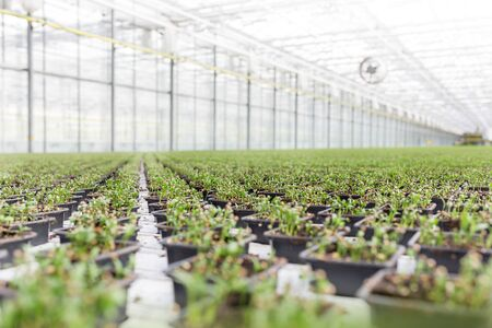 Row of herbs growing in greenhouse Banque d'images