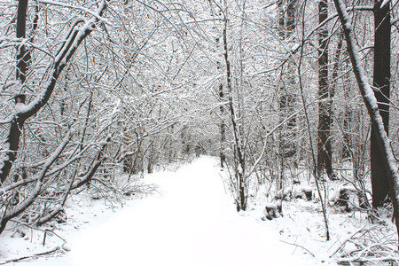 covered in snow: Winter forest covered snow, Beautiful Landscape of cold season Stock Photo