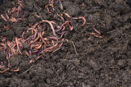 Getreide mit Würmern, Vermicomposting für die Düngemittelproduktion. Textur von Dirty Dark Humus mit Klumpen von Würmern. Standard-Bild - 109512825