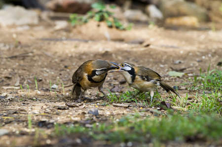 laughingthrush: Bird (Greater necklaced Laughingthrush) ,Thailand