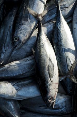 Tuna, Eastern little tuna, Thunnini, Longtail tuna, Northern bluefin tuna photo