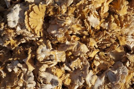 Schizophyllum commune mushroom, Common Split Gill