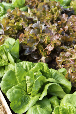 vegetable salad: A beautiful lettuce garden growing in the vegetable garden.