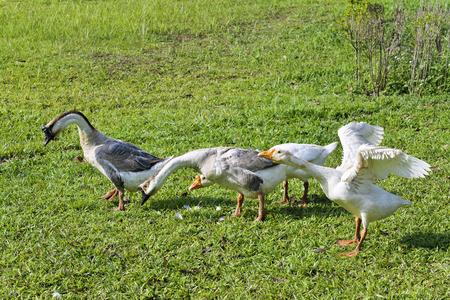 granja avicola: Gooses en una granja de aves de corral. Foto de archivo
