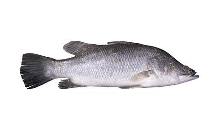 新鮮なスズキは魚の隔離された白い背景です。