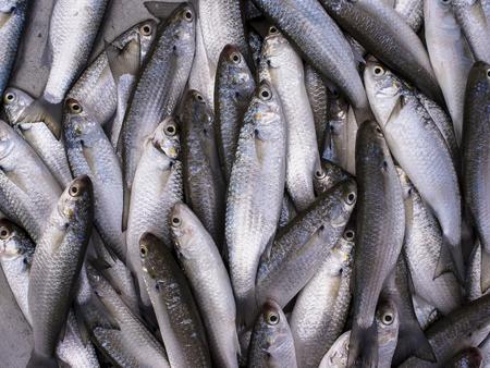 grey mullet: Fresh sea grey mullet fishs in the market, Thailand.
