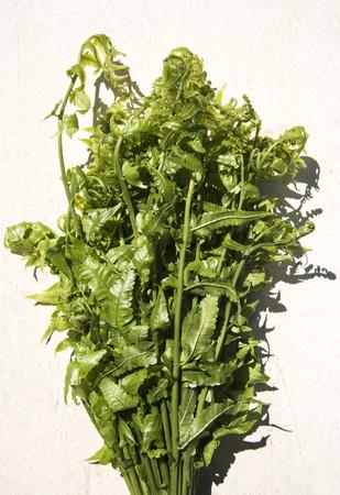 marsilea: Diplazium esculentum or edible vegetable fern found in Asia and Oceania. Stock Photo