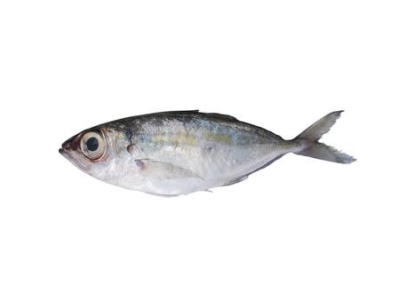 spat: Fresh Indian mackerel isolated on white background. Stock Photo