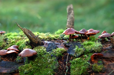 Toadstools growing in a moss on a rotten trunk