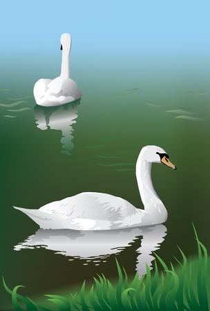 Twhite swans in pond Stock Vector - 9484030