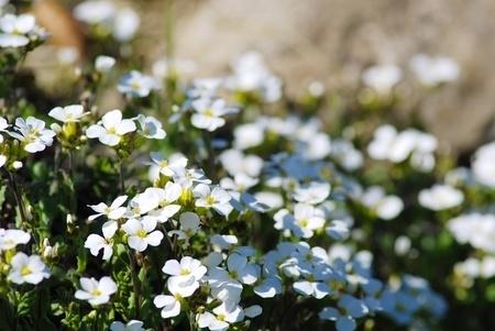 White Aubrieta flowers in the garden