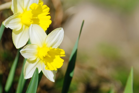 White narcissusses on blurred background