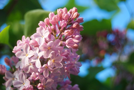 Branch of pink lilac flowers in the garden