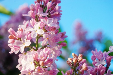 Fresh pink flowers of lilac close-up
