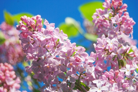 Pink lilac flowers over the blue sky and green leaves