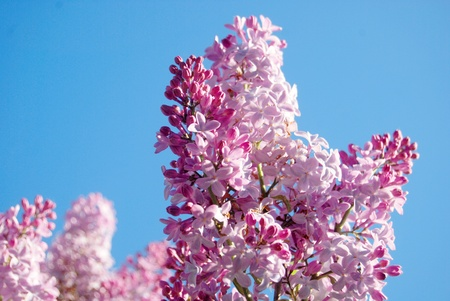 Pink flowers of lilac over the clear blue sky background