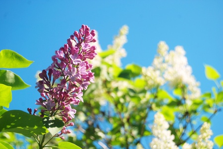 Pink lilac over the white flowers and blue sky