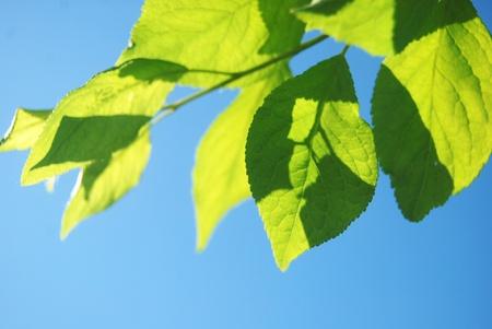 Fresh green leaves over te blue sky Stock Photo