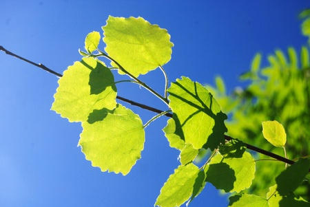 Green leaves over clear blue background