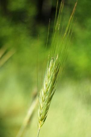 Ear of oat close-up