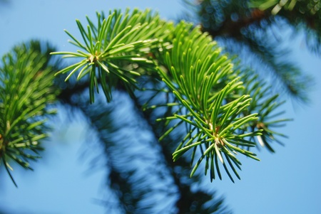Branch of pine-tree with needles close-up over blue clear sky
