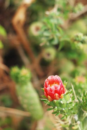 Blooming cactus flower Stock Photo
