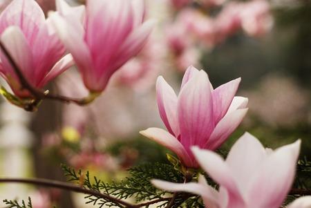 Magnolia flowers blossom Stock Photo