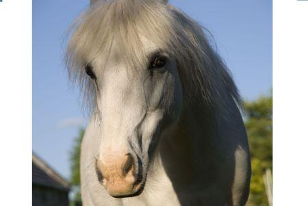 minty: Welsh Pony